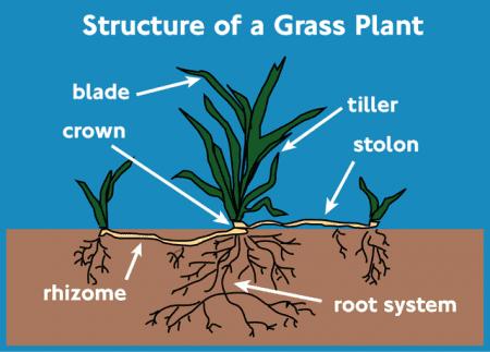Grass Plant Structure