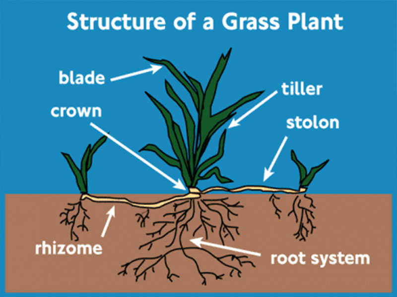Daleys Turf - Plant Structure