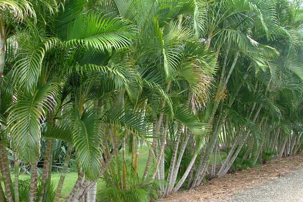 Golden Cane Palms and your lawn