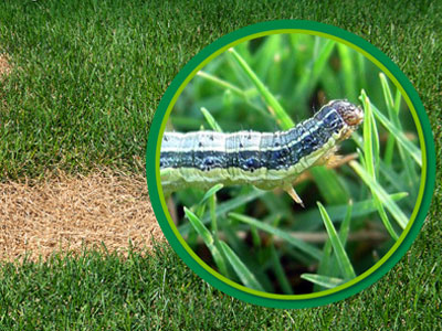 Lawn Grub & Army Worms